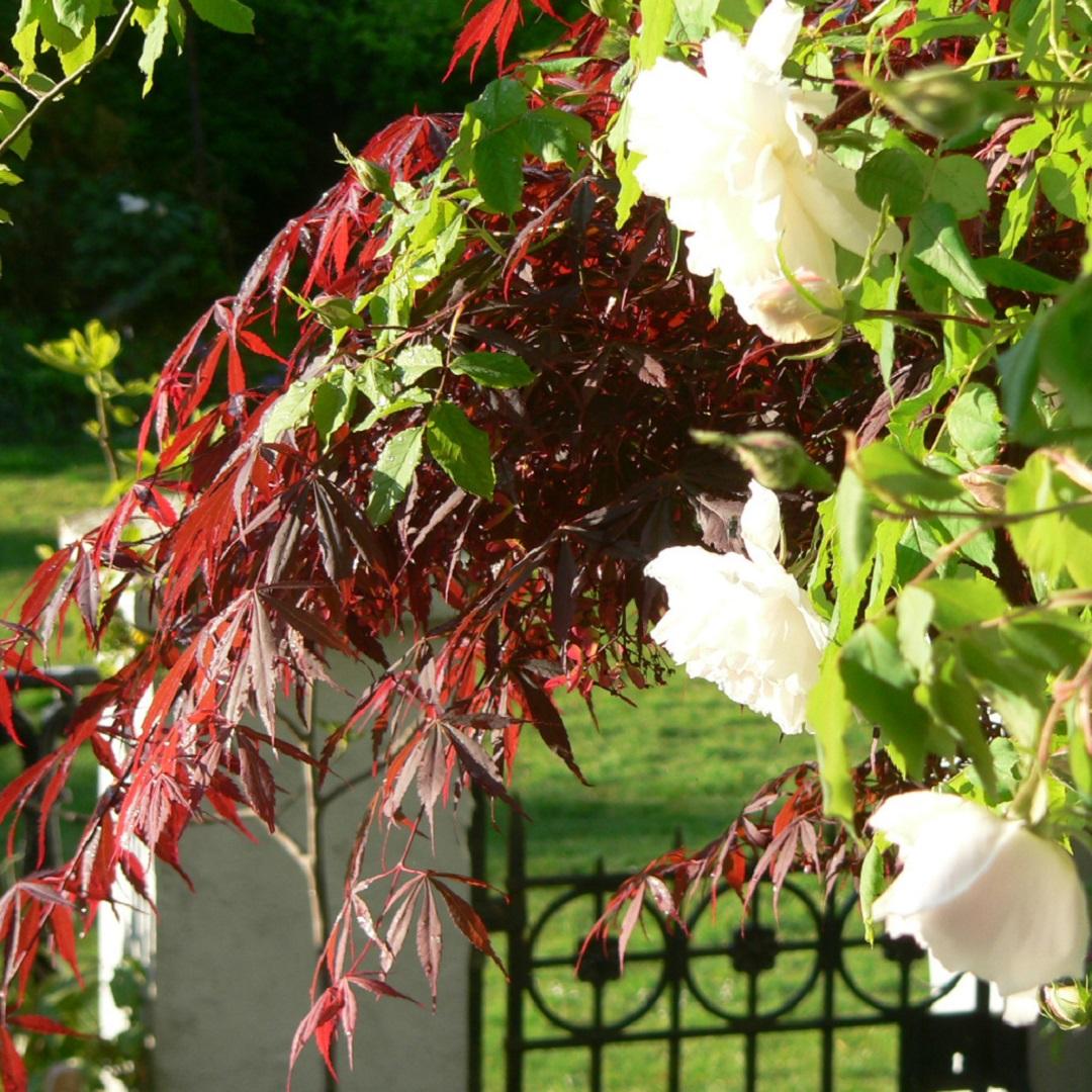 detail rose